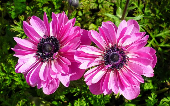 Anemones, Flowers, Pink, Garden, Plants, Jaskrowate