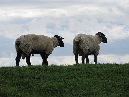 Sheep, Meadow, Grass, Nature, Dike, Clouds, Sky