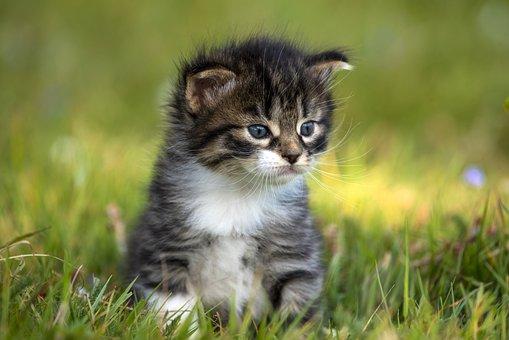 Kitten, Fur, Striped, Eyes, Blue, Nature