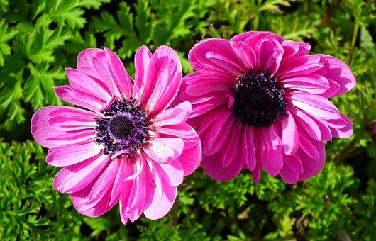 Anemones, Flowers, Pink, Spring, Garden, Plants, Nature
