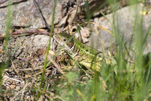 The Lizard, Reptile, Nature, Green, Brown, Stones