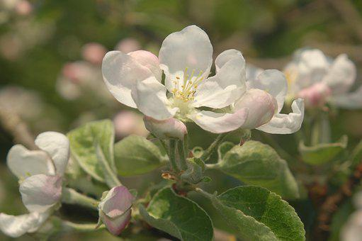 Apple Blossom, Pink, Garden, Close Up, Flowering Twig
