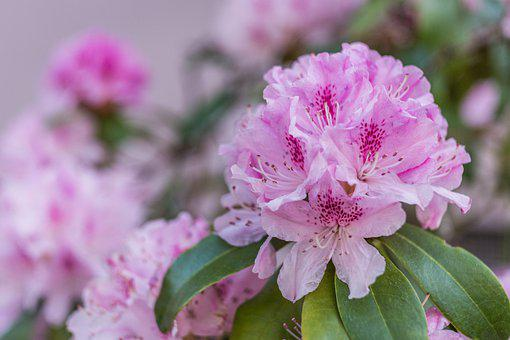 Rhododendron, Blossom, Bloom, Close Up