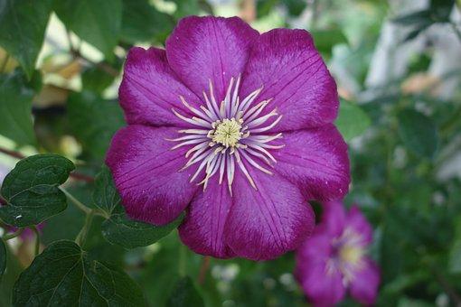 Clematis, Blossom, Bloom, Violet, Climber Plant, Bloom
