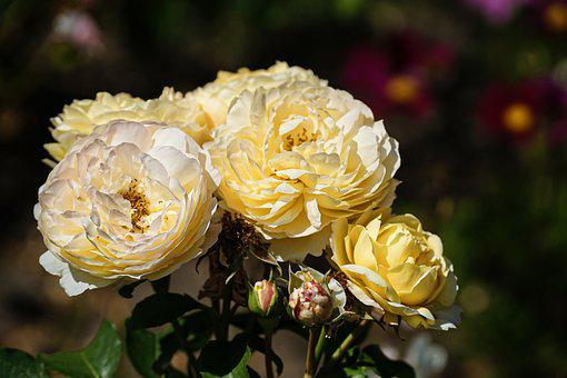 Roses, Yellow, Blossom, Bloom, Flower