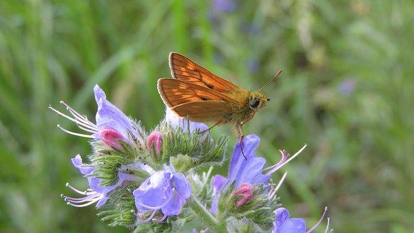 Ochlodes Sylvanus, Soumračník Rusty, Butterfly
