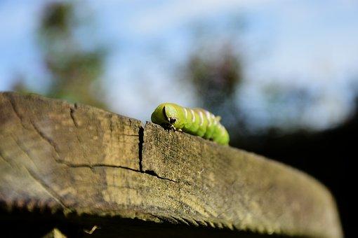 Caterpillar, Privet Hawk Moth, Green
