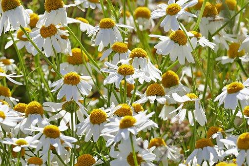 Chamomile, Flowers, Naturopathy, Nature