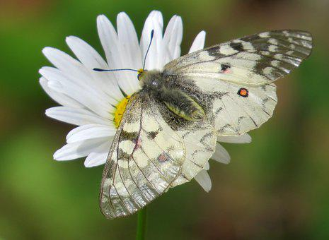 Butterfly, Claudius Parnassian, White, Black, Red Spot