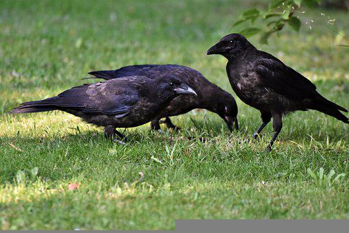 Raven, Crow, Raven Bird, Bird, Common Raven, Jackdaw