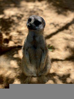 Meerkat, Zoo, Animals, Animal, Nature, Fauna, Wild
