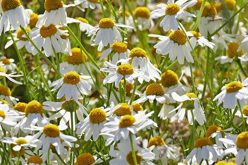 Chamomile, Flowers, Naturopathy, Nature, Flower Meadow