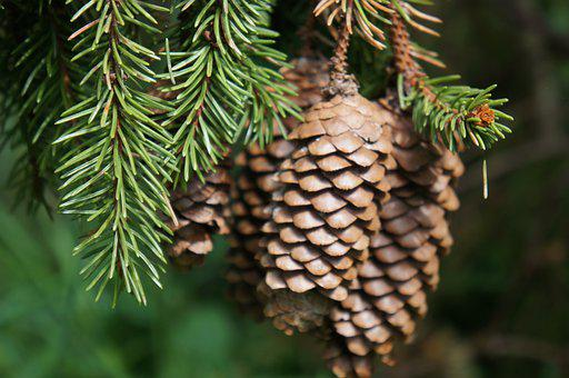 Pine Cone, Forest, Spruce, Pine, Needles, Nature