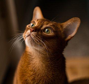 Cat, Abyssinian, Pet, Animal, Kitty