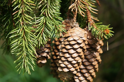 Pine Cone, Forest, Spruce, Pine, Needles