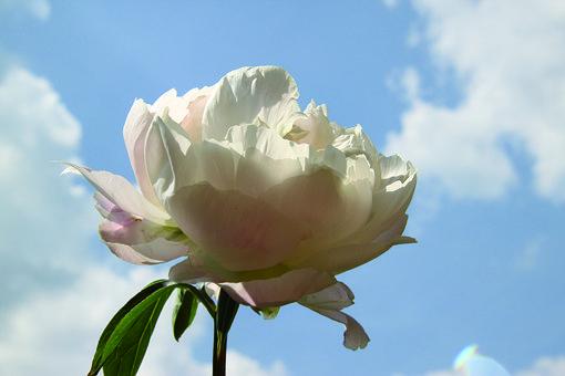 Sky, Rose, Flower, Pink, Nature, Blossom