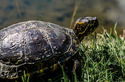 Animal, Tortuga, Turtle, Tortoise, Reptile, Green