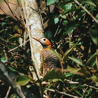 Woodpecker, Bird, Nature, Animal, Pity