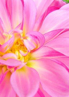 Dahlia, Blossom, Bloom, Flower, Close Up