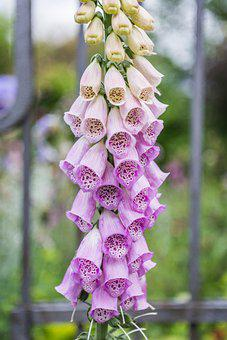 Thimble, Flower, Toxic, Blossom, Bloom, Plant, Pink