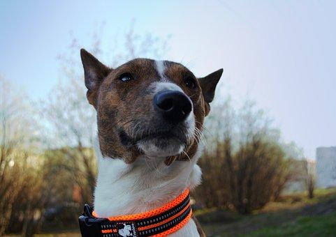 Basenji, Closeup, Dog, Animal