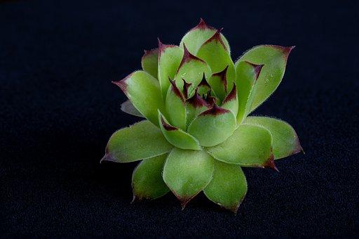 Plant, Joubarbe Des Toits, Green, Leaves, Fleshy