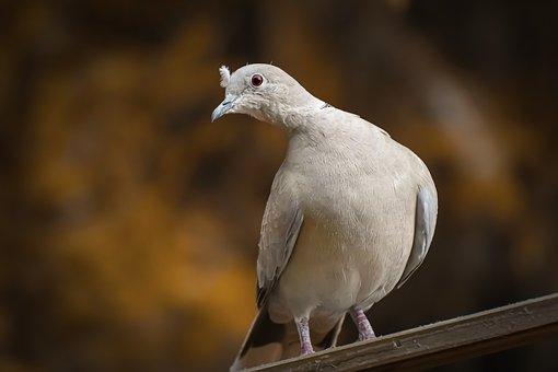 Collared, Bird, Plumage, Dove, Nature