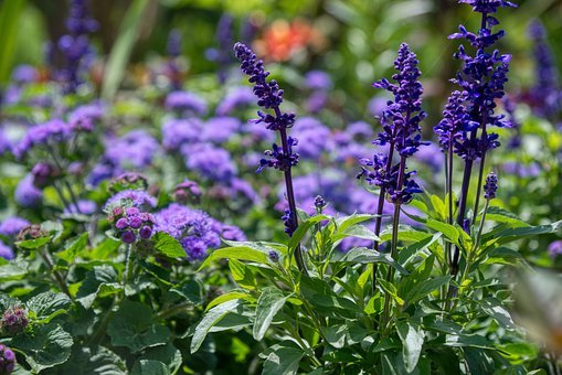 Flower Garden, Flowers, Purple, Violet