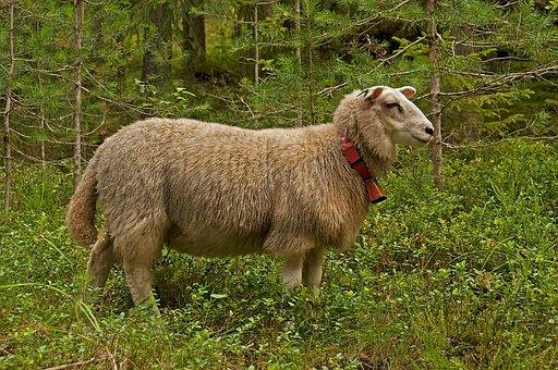 Sheep, Animal, Nature, Farm, Wool