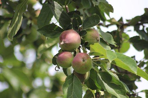 Apple, Tree, Apple Tree, Fruit, Healthy, Vitamins