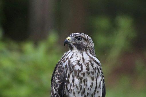 Bird, Hawk, Wild, Raptor, Nature