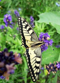 Butterfly, Swallowtail, Garden, Nature