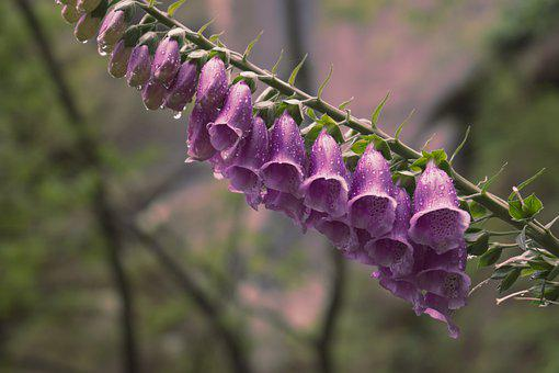 Thimble, Flower, Shrub, Pink, Bloom