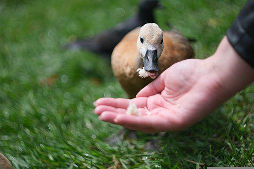 Duck, Animal, Bird, Nature, Swan
