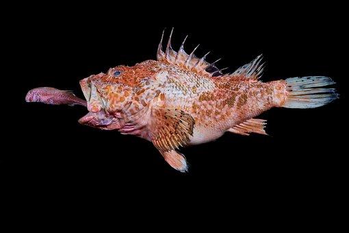 Redfish, Mullet, Fish, Predator, Red, Eats, Small