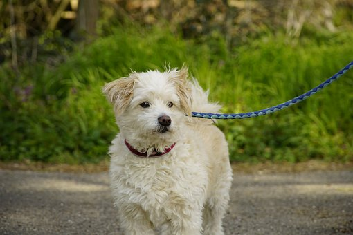 Small, Dog, White, Cute, Animal, Pet
