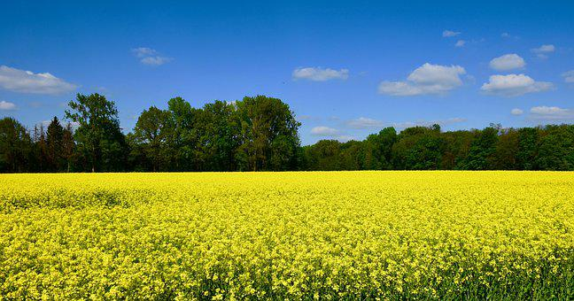 Rapeseed, Field, Nature, Yellow, Landscape, Agriculture