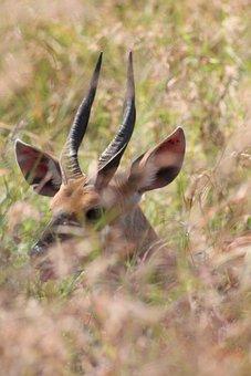 Antelope, Duiker, Africa, Animal, Nature, Mammal, Males