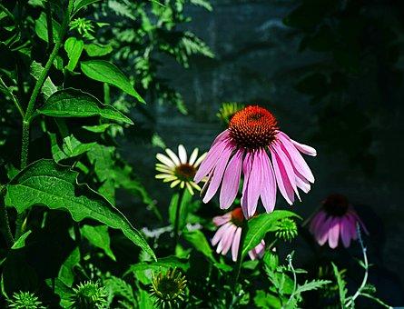 Coneflower, Purple, Flower, Bloom