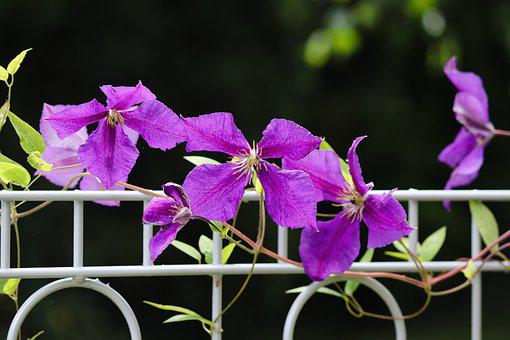 Clematis, Fence, Garden Fence, Flowers, Violet
