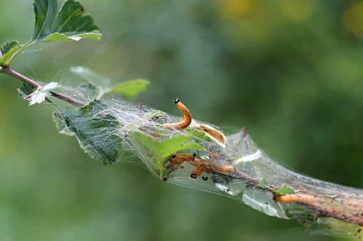 Caterpillar, Cocoon, Branch, Caterpillars, Insect