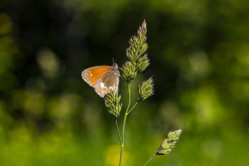 Chestnut Heath, Coenonympha Glycerion, Nature, Insect