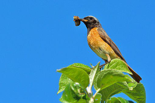 Bird, Common Redstart, Males, Food, Nature, Garden