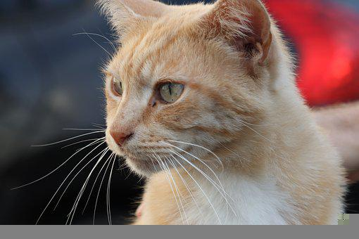 Cat, Ginger, Cute, Pretty, Friendly