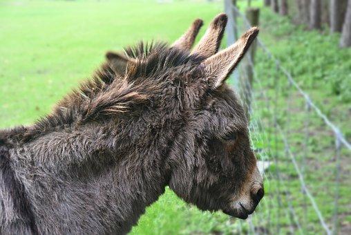 Donkey, Equine, Animal, Farm Animal