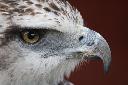 Eagle, Bird, Raptor, Nature, Bill, Head, Falcon