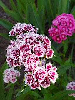 Flowers, Garden, Green, Colorful, Bloom, Clove, Flora