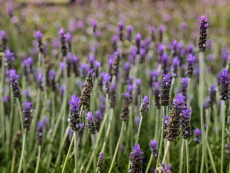 Flower, Purple, Lavender, Bloom, Nature