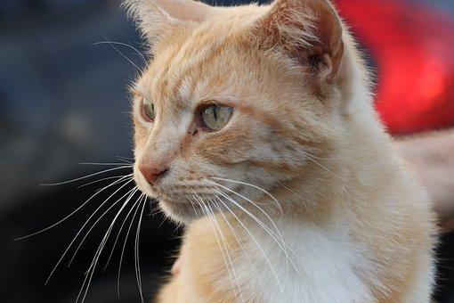 Cat, Ginger, Cute, Pretty, Friendly, Feline, Domestic