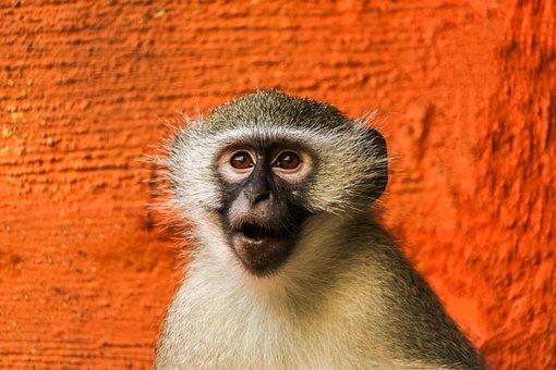 Monkey, Funny, Chi, Animal, Cute, Zoo, Gorilla, Ape